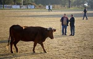 Rubia, the famous cow of Amoeiro CF