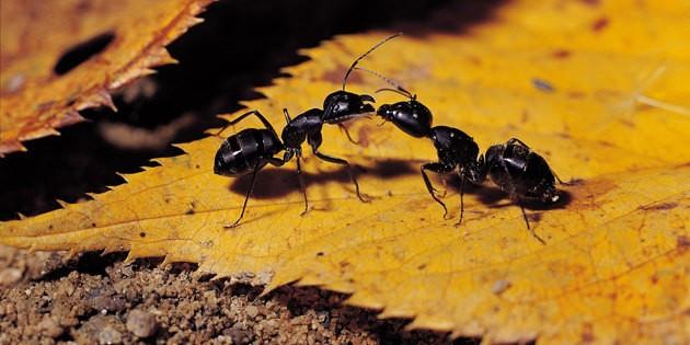 ants-237