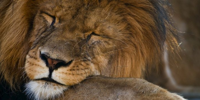 sleeping_Lion_by_oetzy